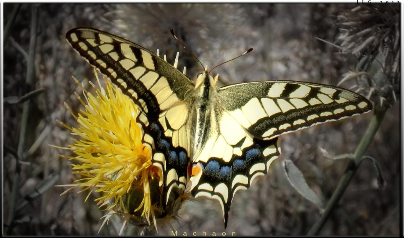 The Machaon´s Colors by jlgarcia0