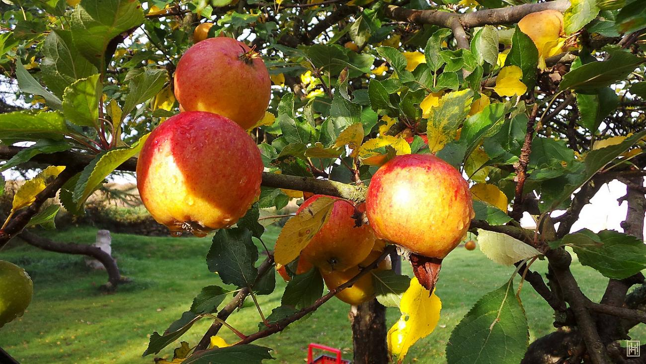 Sunny Apples for Jacomina (dochtersions) by helanker
