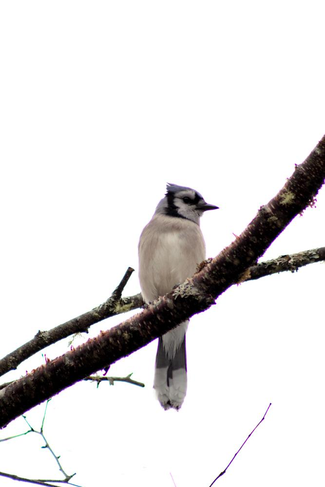 Blue Jay by lunchlady