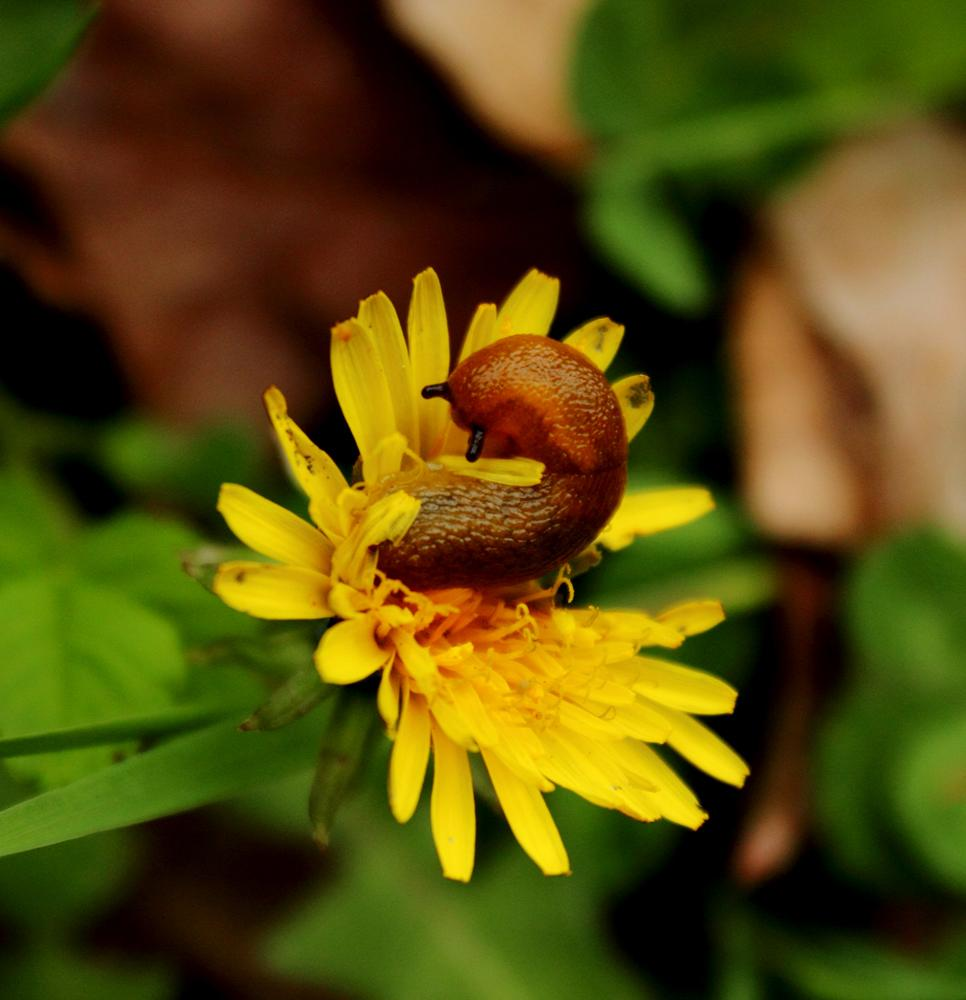Snail on a Dandelion