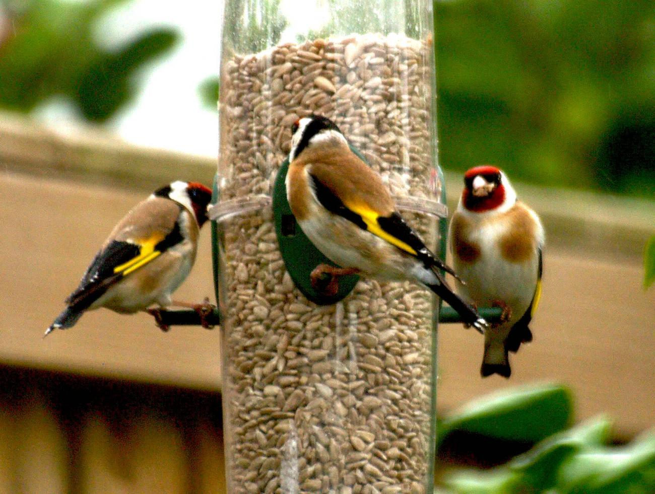 Goldfinches at the feeder.