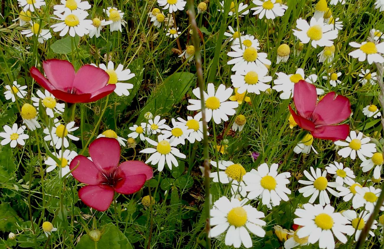 Scarlet Flax among the Chamomile.
