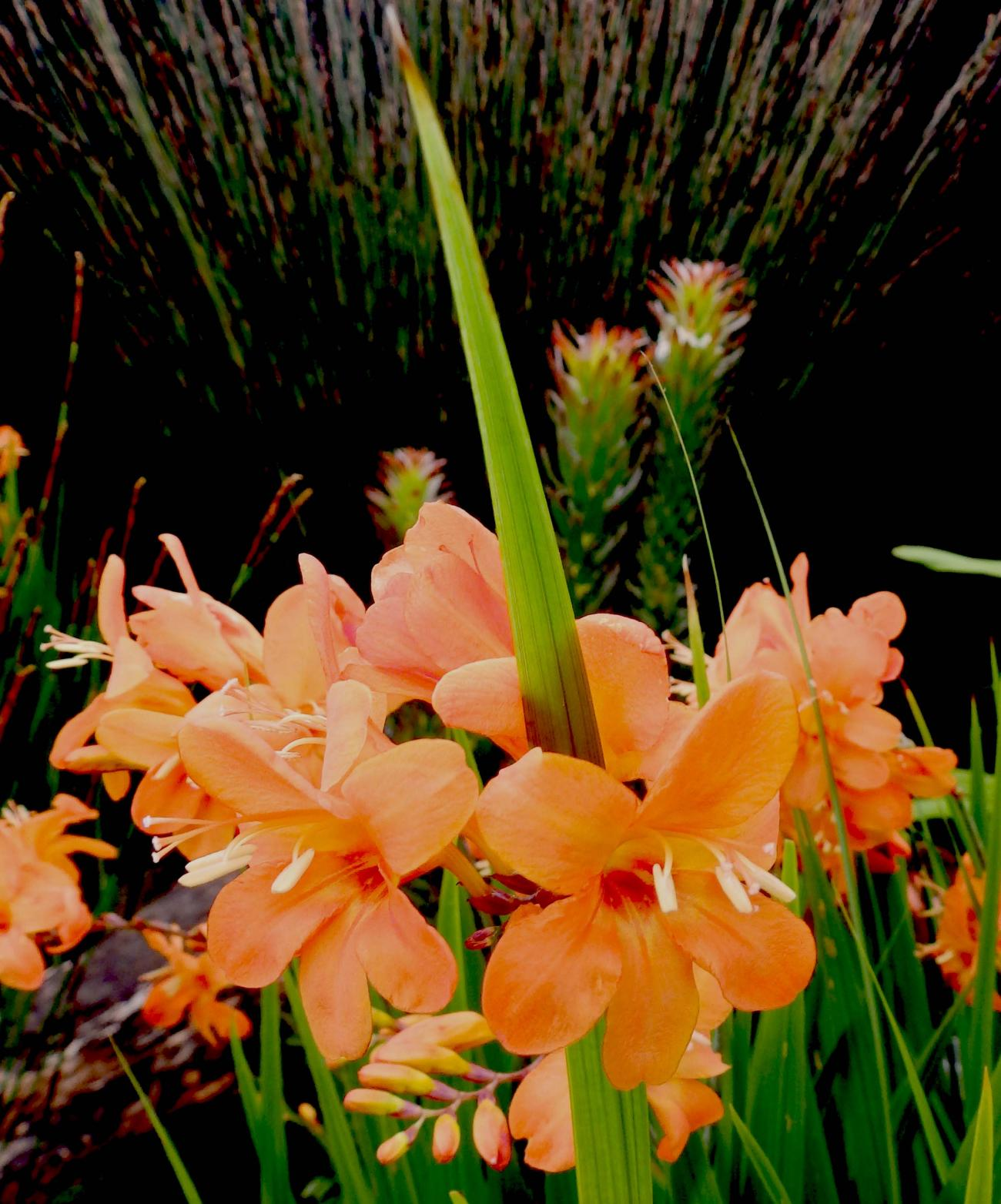 Crocosmia. by jayfar