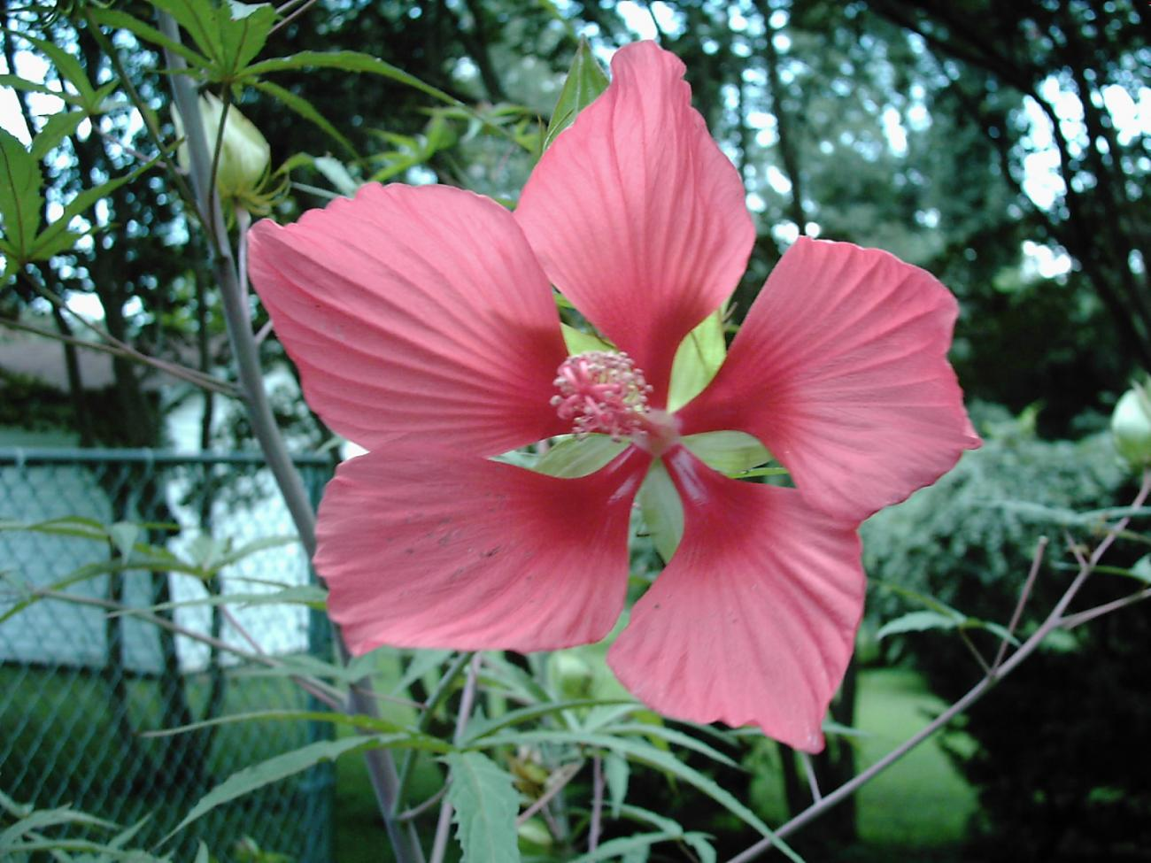 Hibiscus in bloom by calico_jester