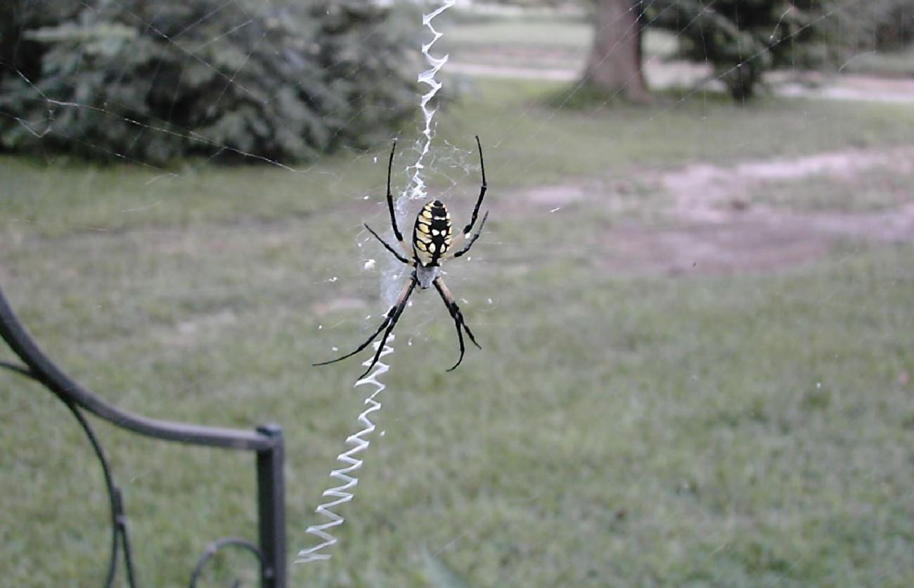 Argiope aurantia by calico_jester