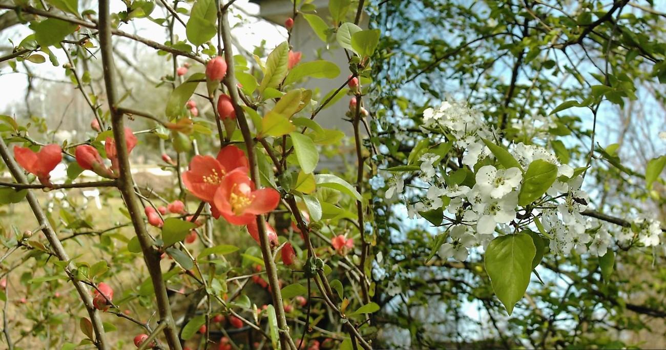 Japonica and Cherry by calico_jester