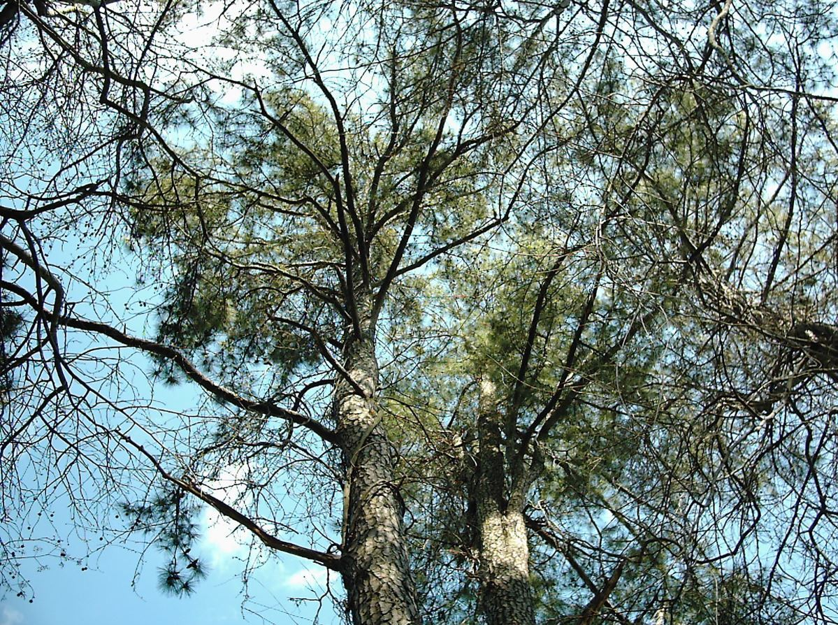Pine Canopy by calico_jester