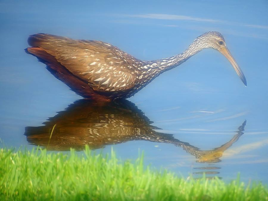 Limpkin by TwoPynts