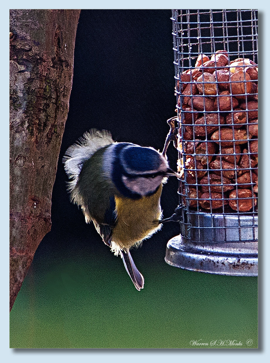 Blue Tit by ratfugel