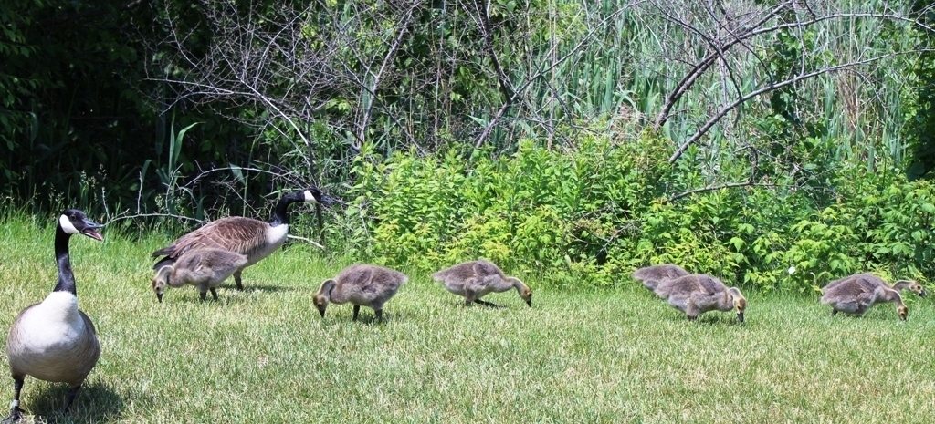 Canada Geese by danapommet