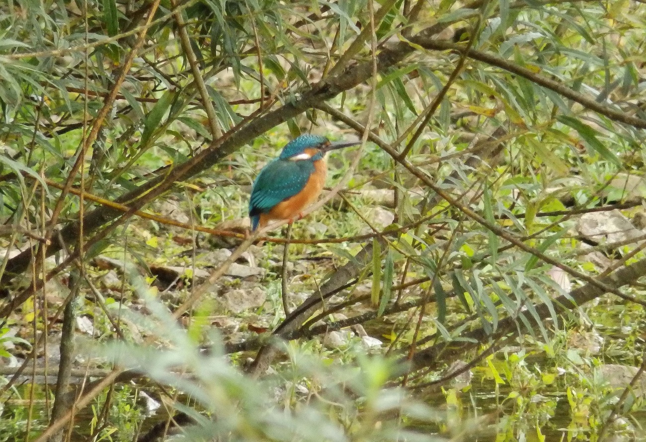 Kingfisher in the bushes.