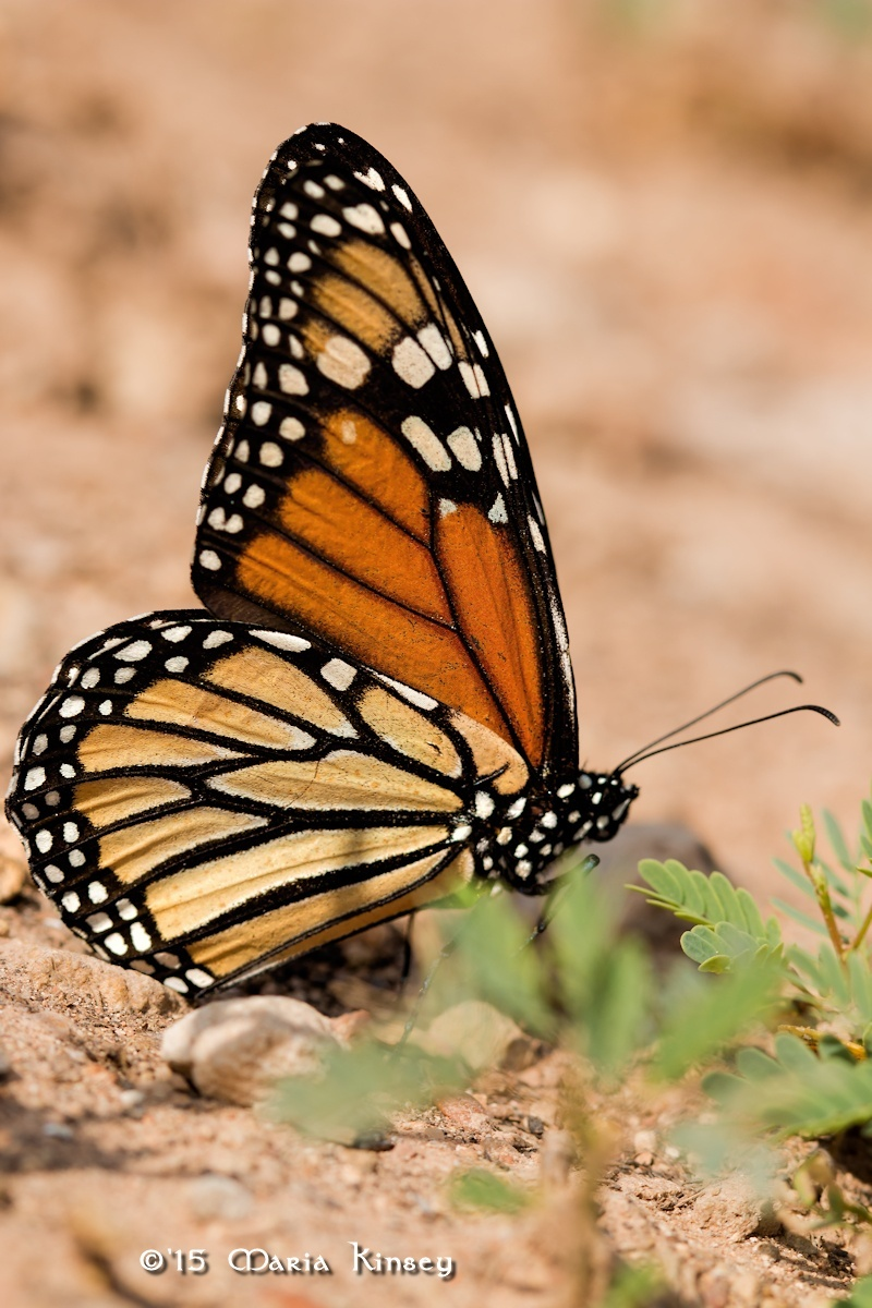 Monarch Butterfly by CavalierLady