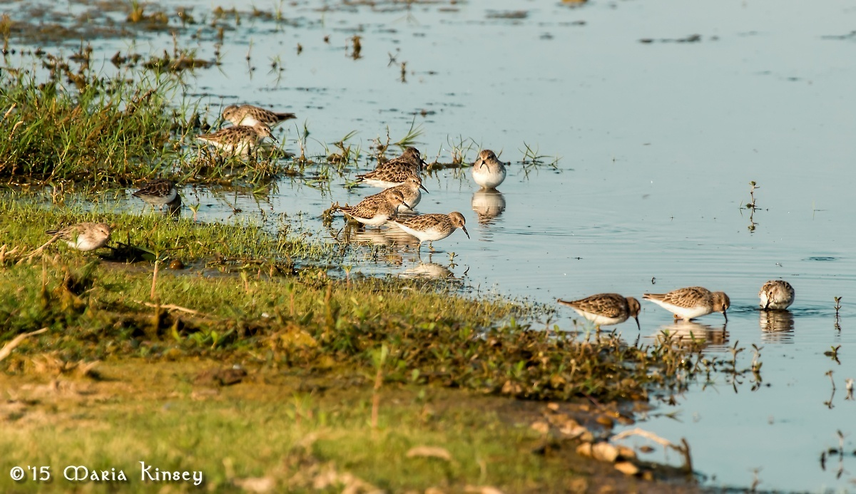 Sandpiper Flock by CavalierLady