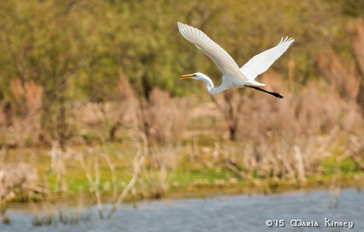 Great Egret (for Bill) by CavalierLady