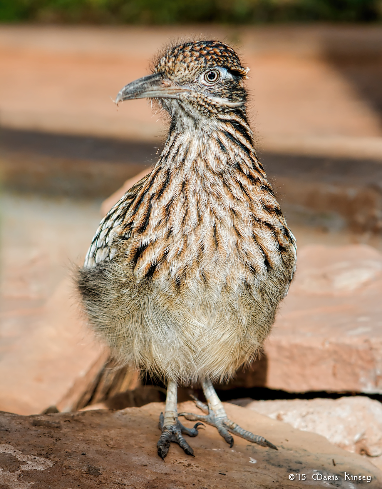 Fluffy Roadrunner by CavalierLady