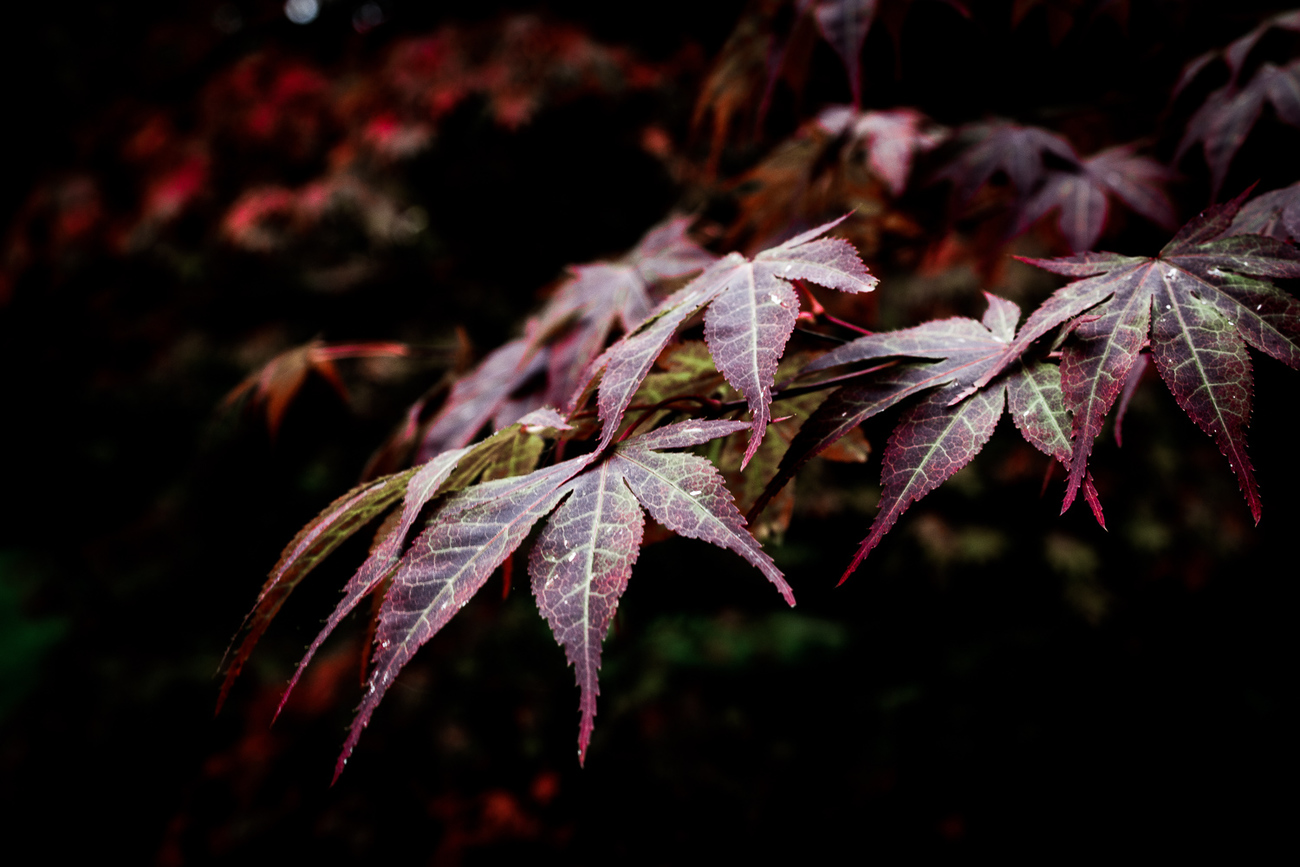 Maple Leaves by FrankT