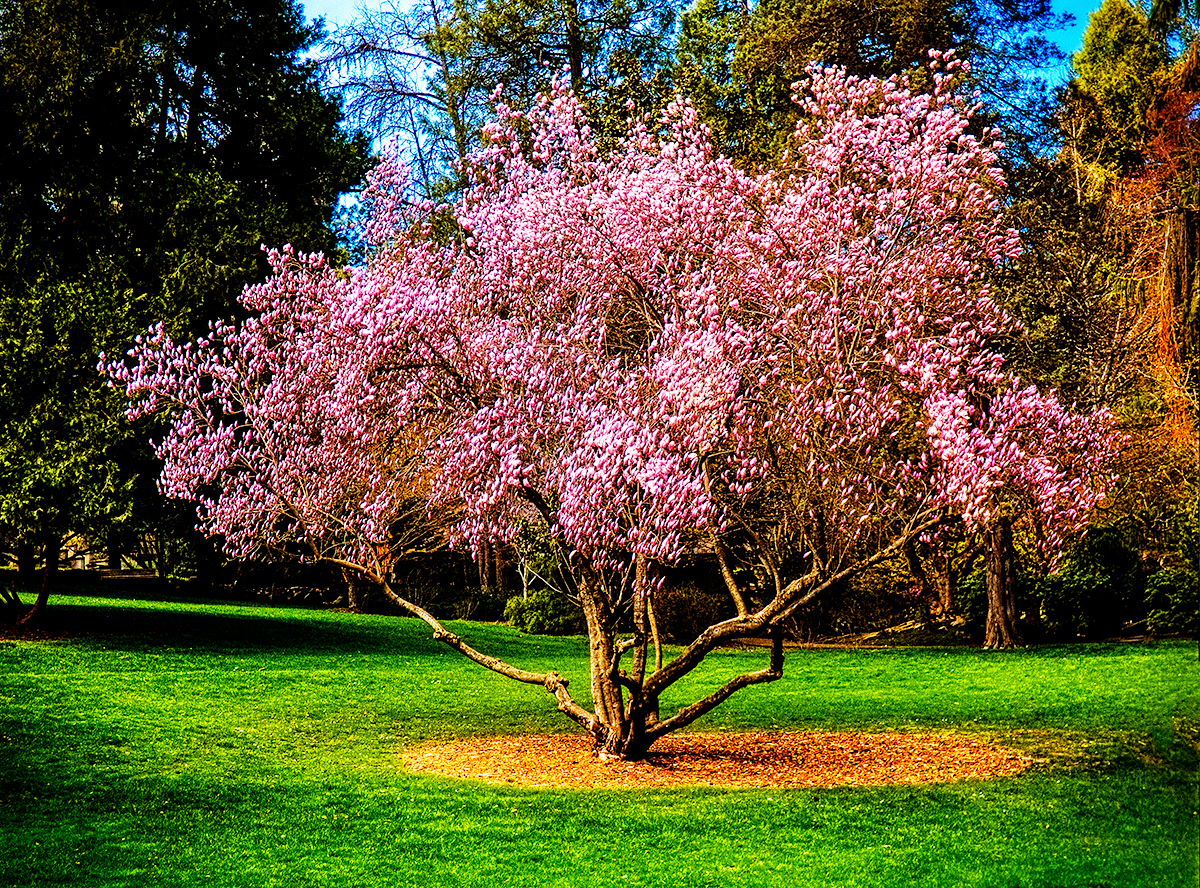 Magnolia Tree By Photosynthesis Photography Flowers Plants