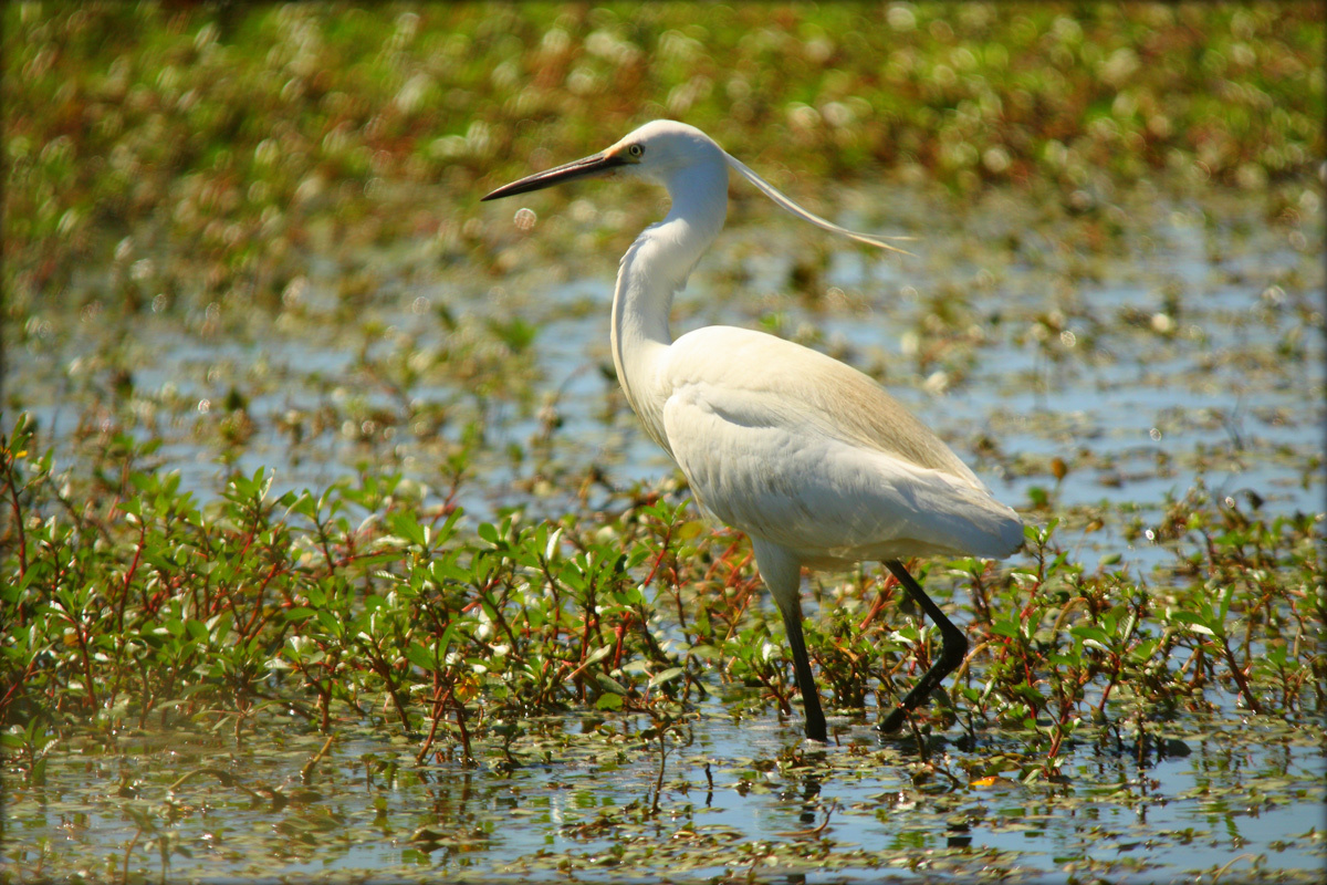 The little egret of Marais du Viguaret by iaacf