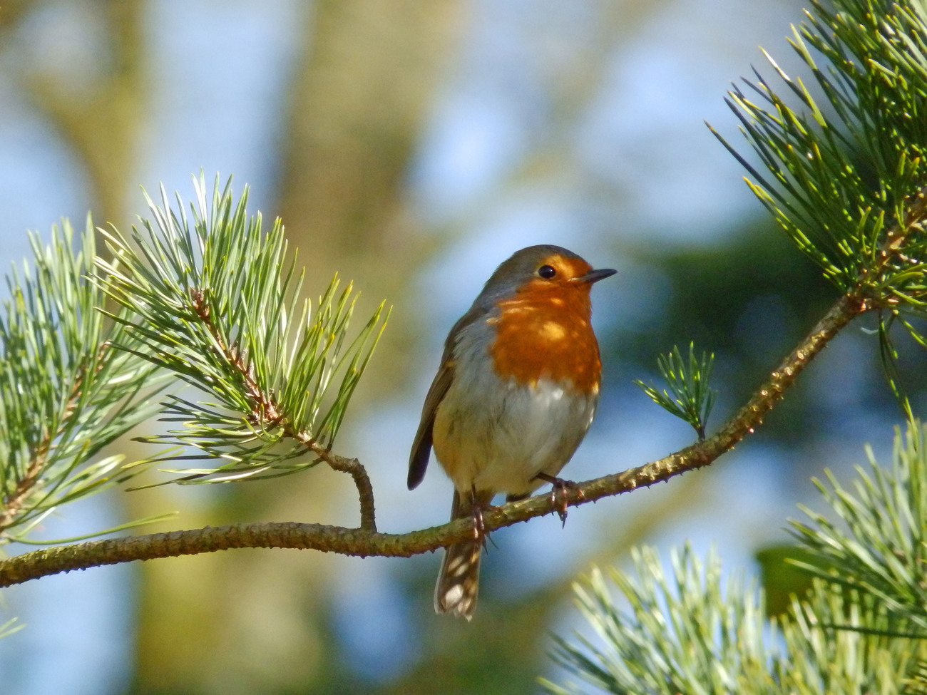 The robin in the tree.