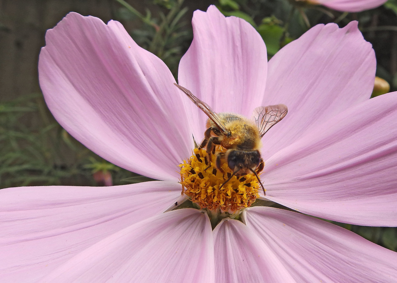 Bee on Cosmos flower.