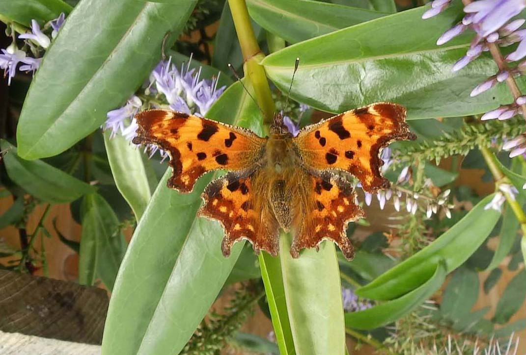 A Comma Butterfly on a Hebe leaf.