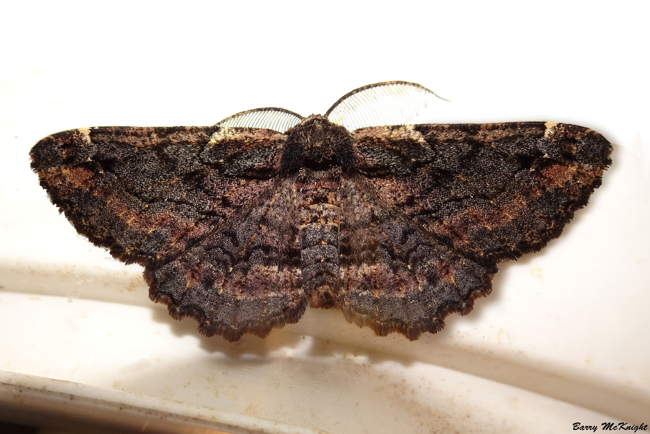 Moth #1205 - Phododes Sinistraria - male by baz35