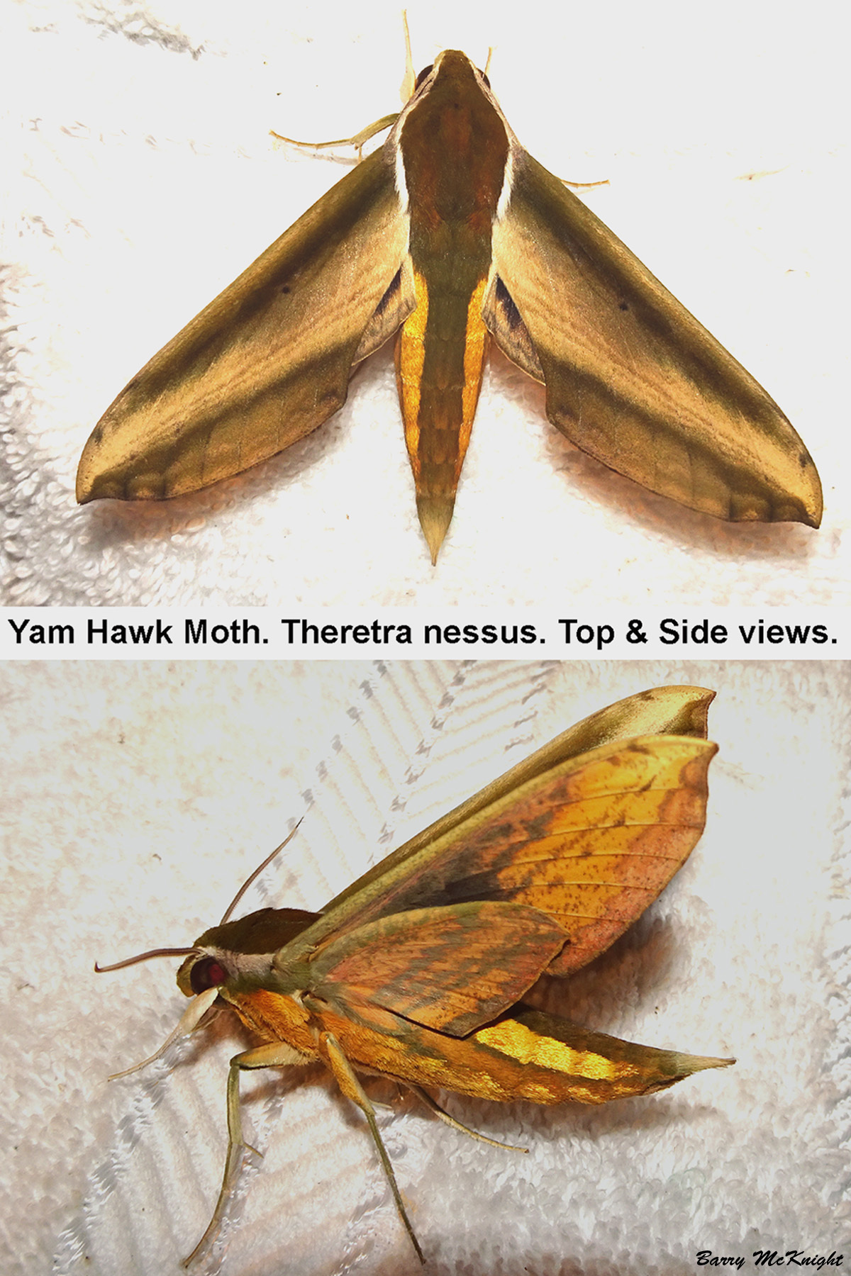 Moth #1206 - Theretra nessus by baz35