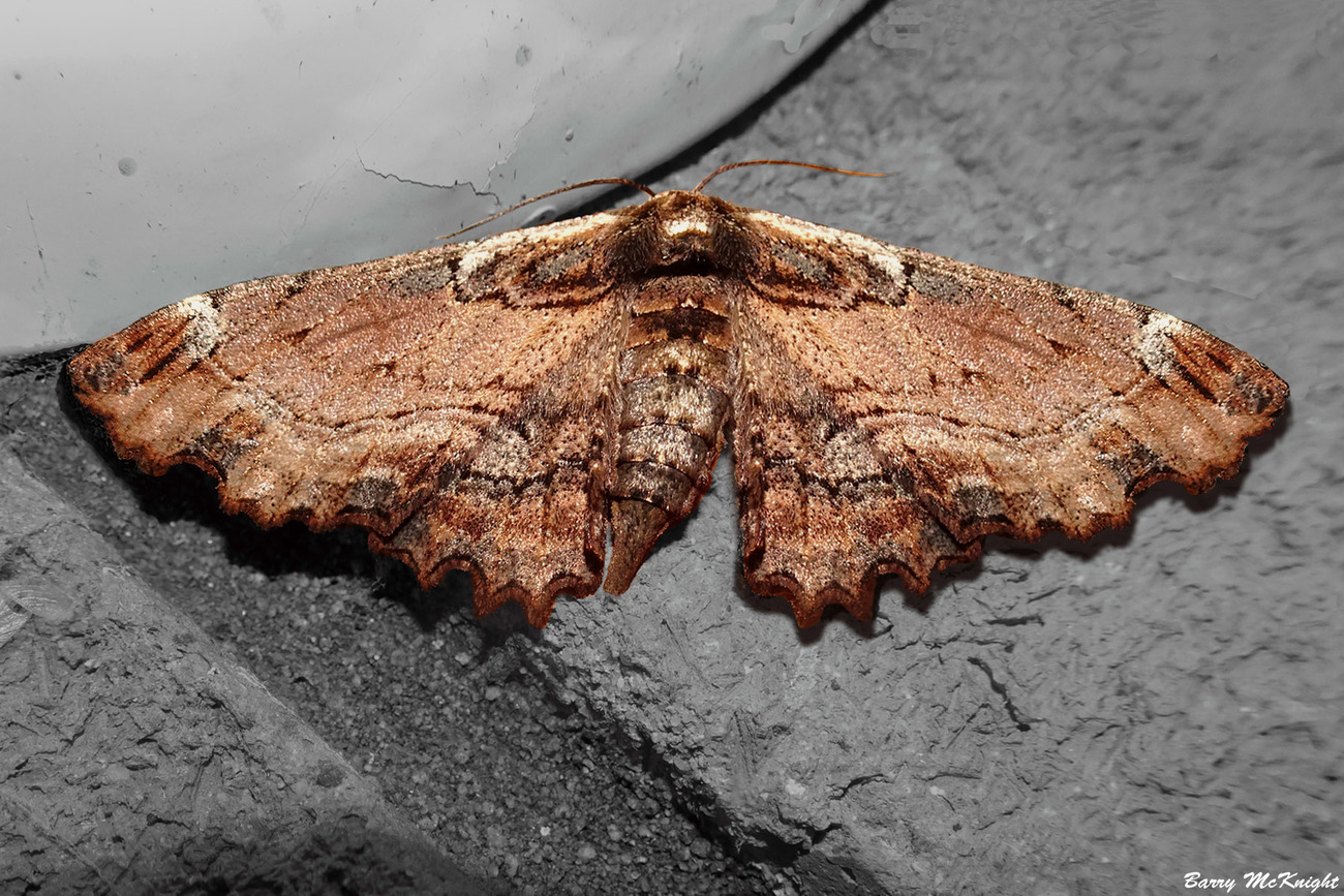 Moth #1210 - Pholodes Sinistraria. female by baz35