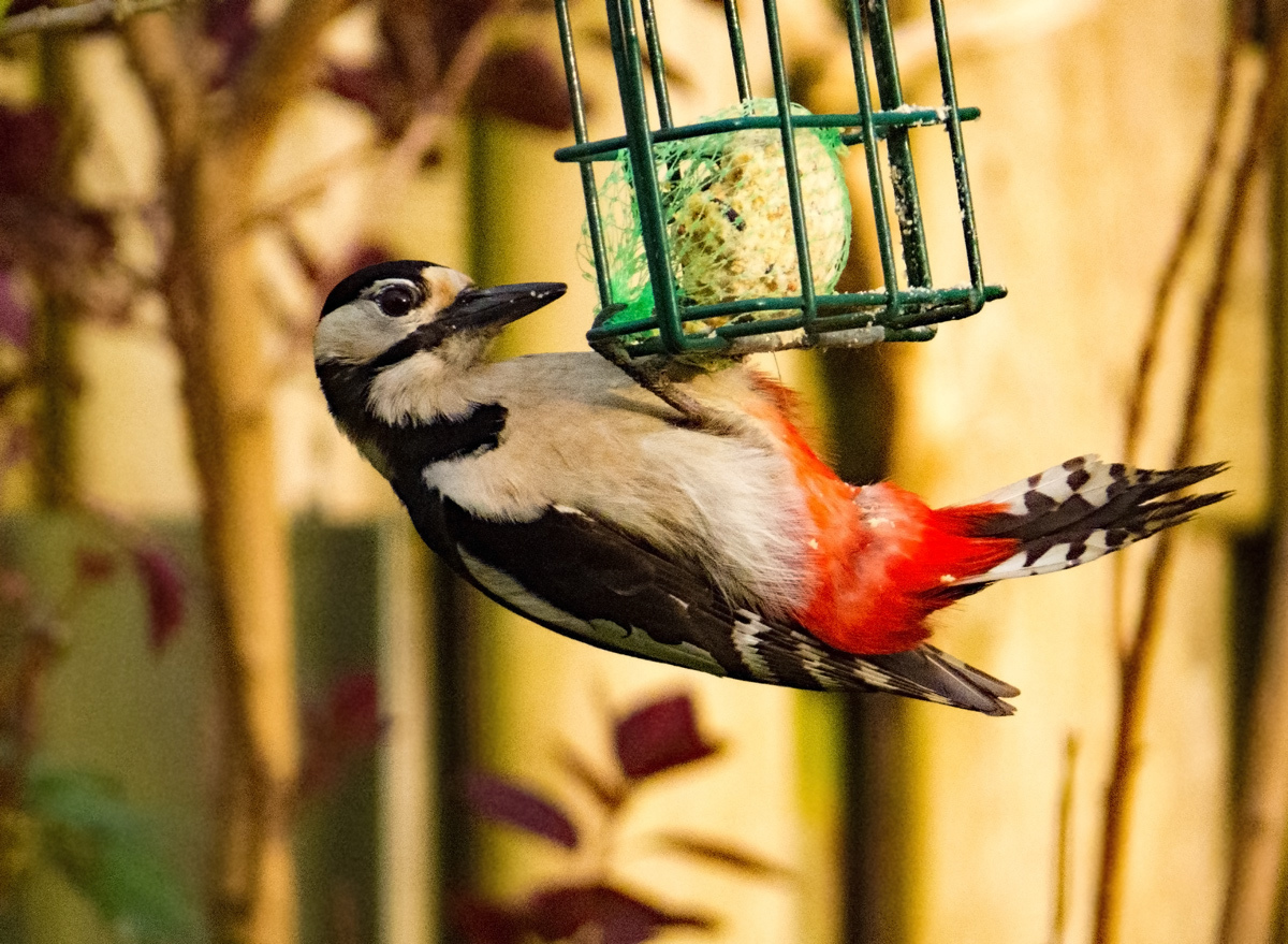 I am proud that I had a Great Spotted Woodpecker by iaacf