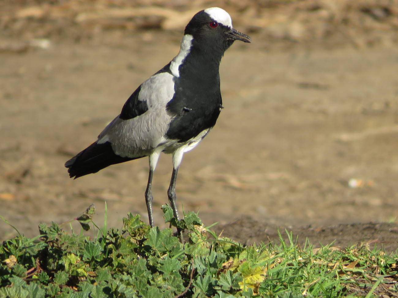 Lapwing plover. by kgb224