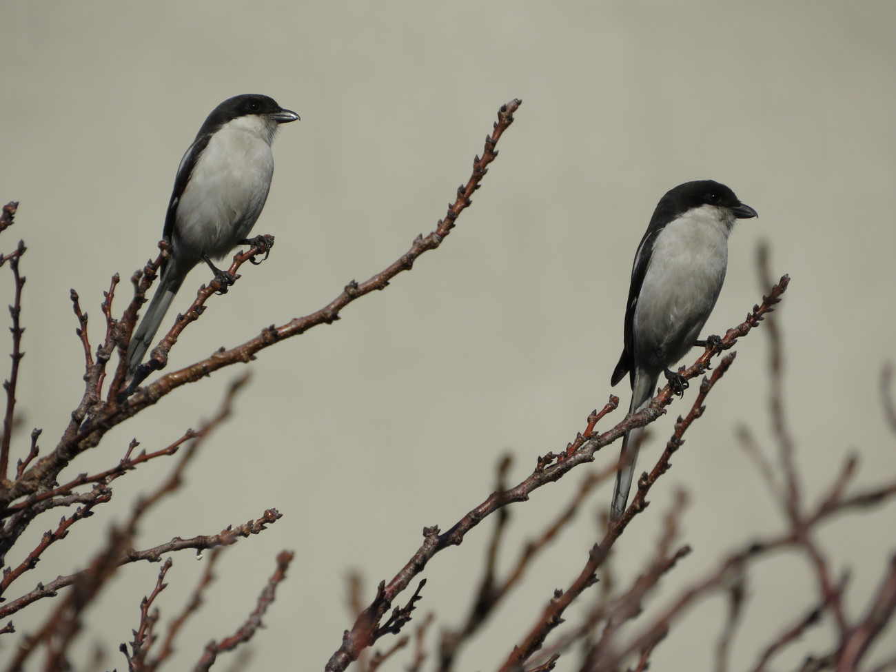 Pair of fiscal shrike. by kgb224