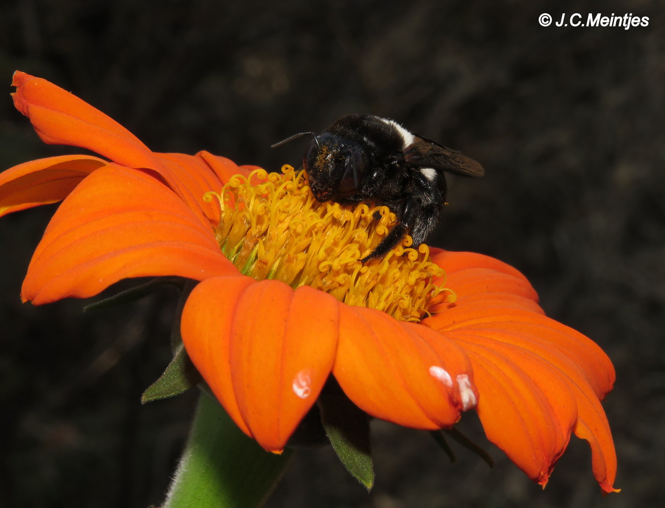 Carpenter bee 1. by kgb224