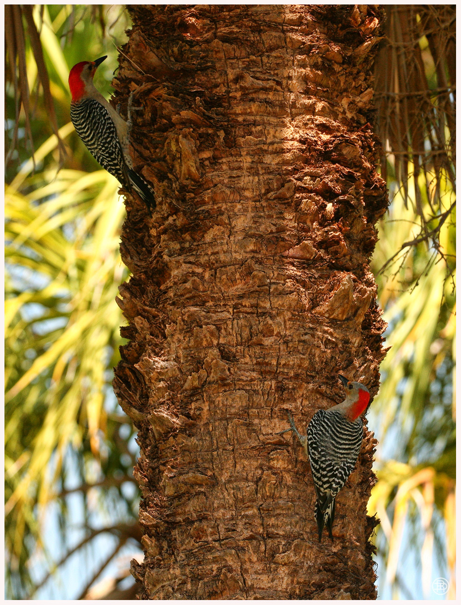 Woodpeckers by DAVER2112