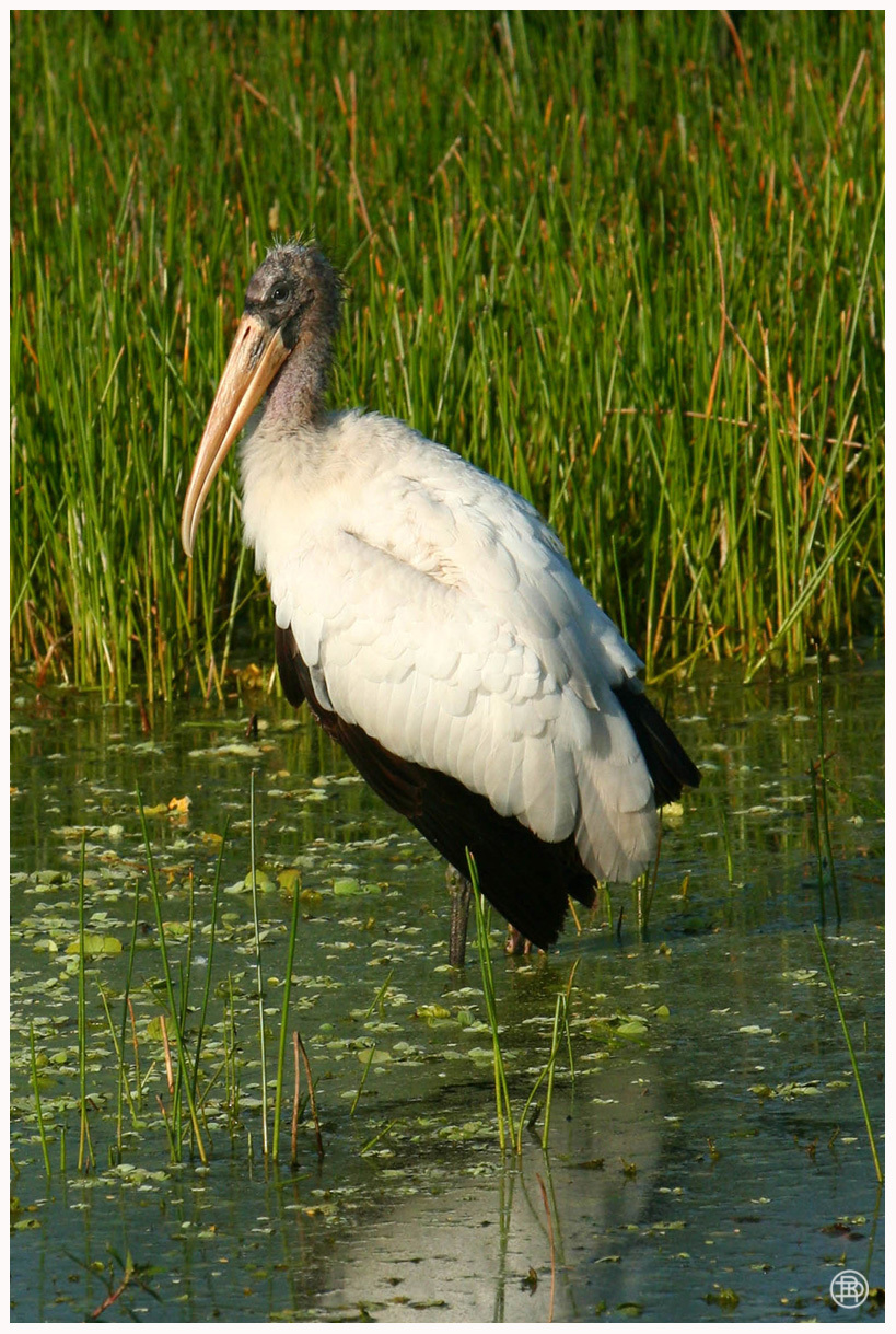 Wood Stork by DAVER2112