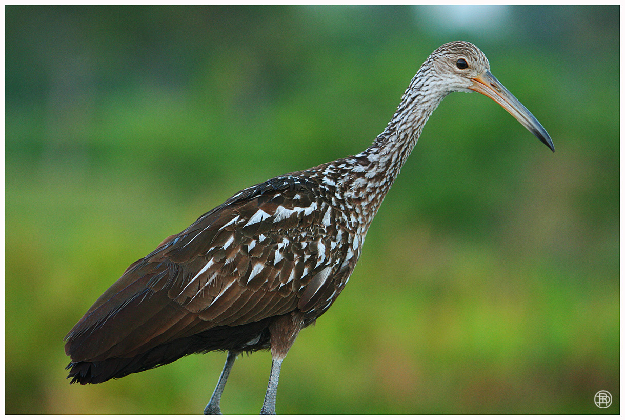 Limpkin by DAVER2112