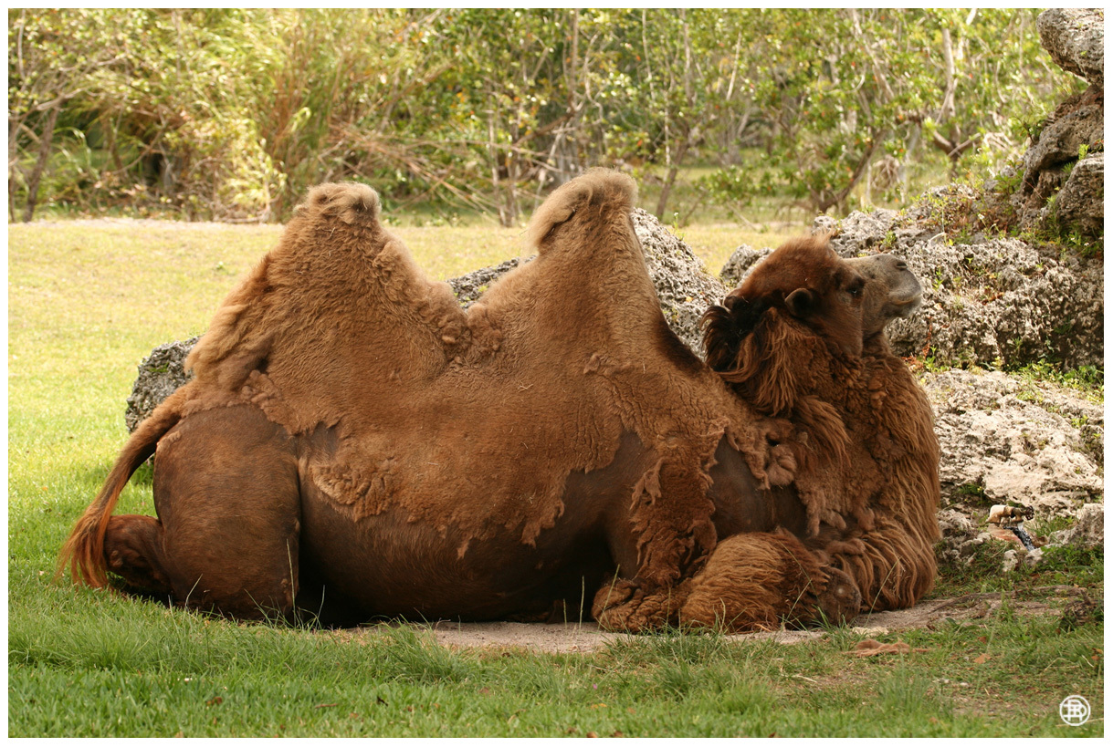 Bactrian Camel by DAVER2112