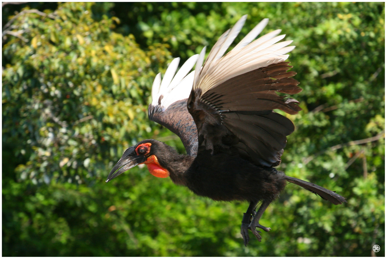 Southern Ground Hornbill by DAVER2112