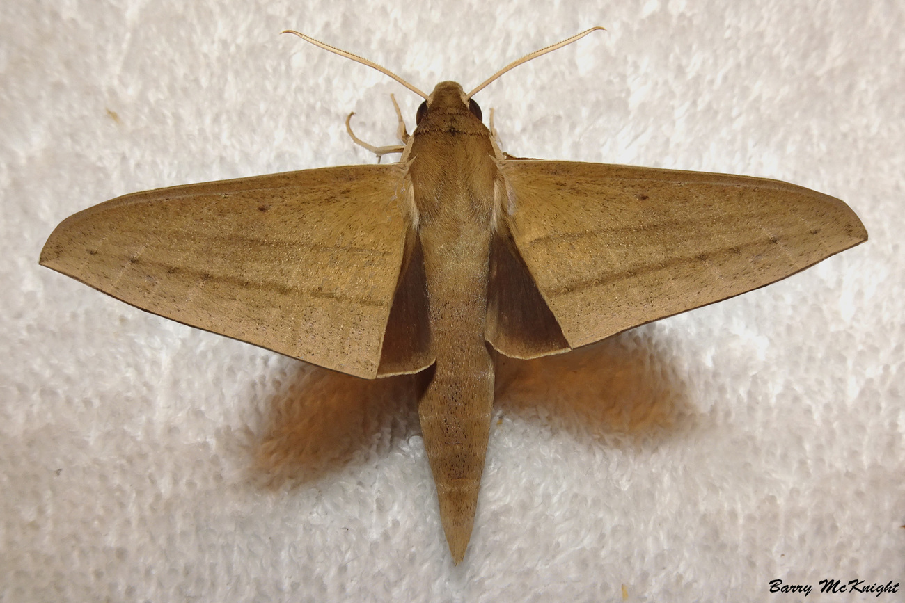Moth #1231 - Light Brown Hawk Moth by baz35