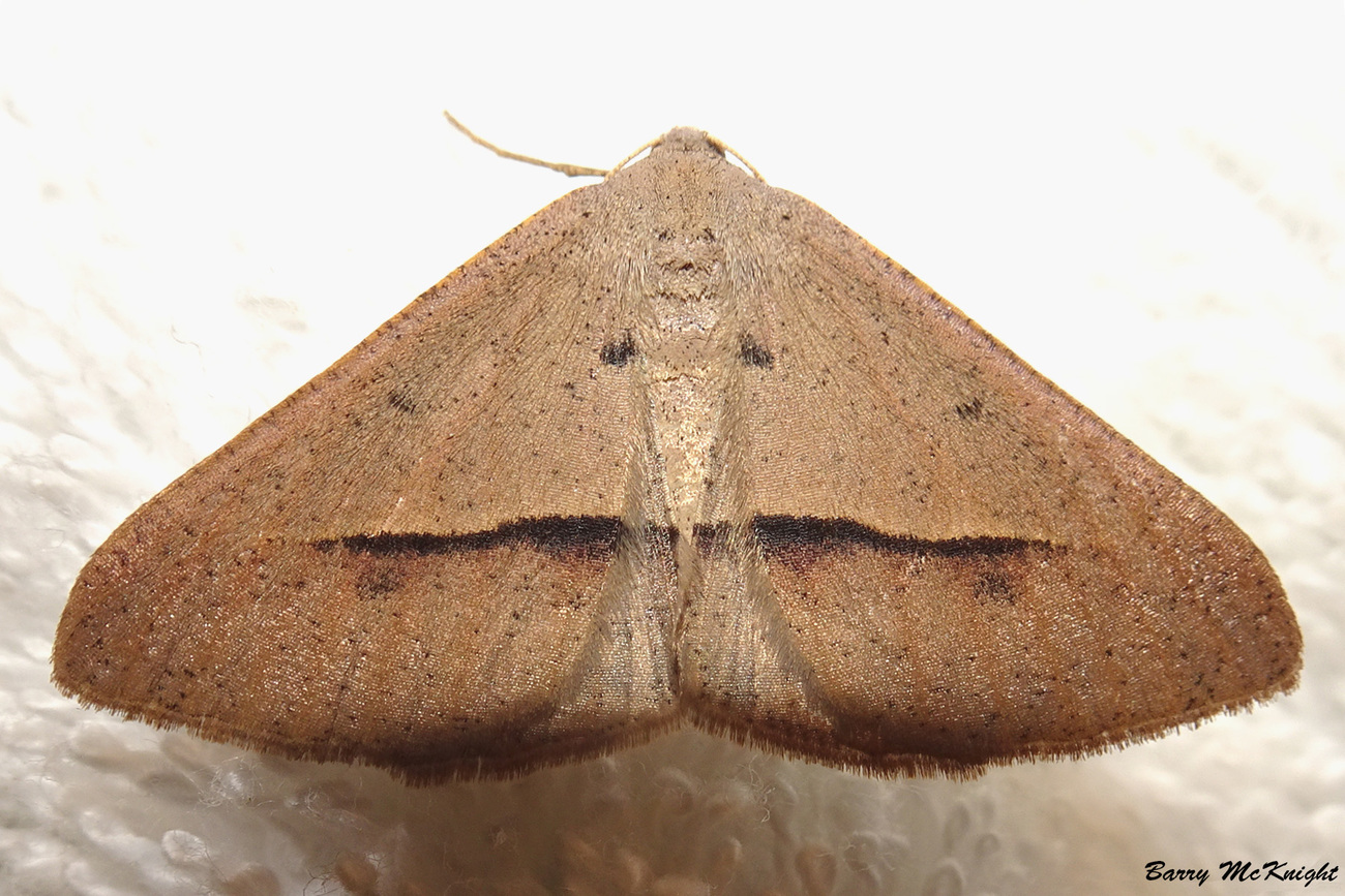 Moth #1233 - Isturgia Penthearia by baz35