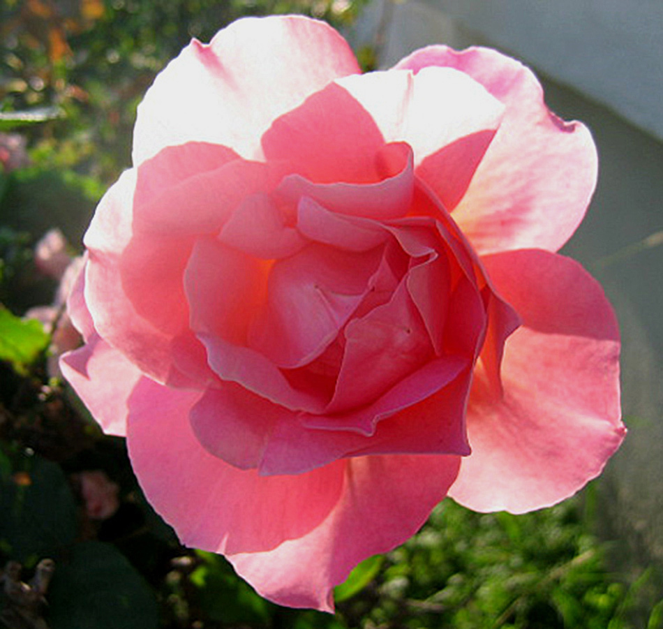 My rose for the day #540 by goodoleboy