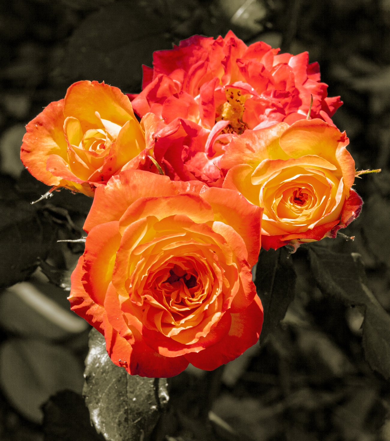 Small roses with big color by Lorraine