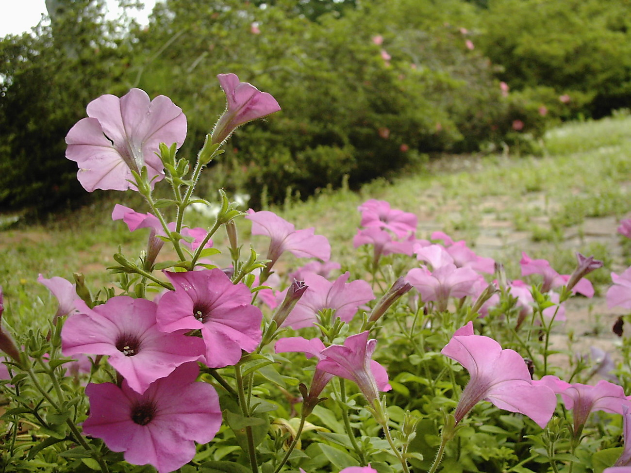*** Petunia * by calico_jester