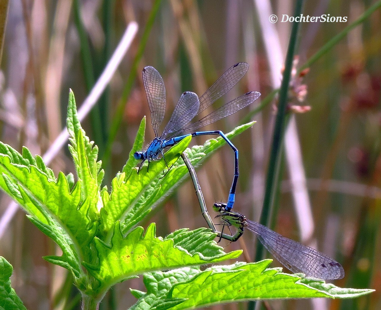 Two mating Damselflies by dochtersions