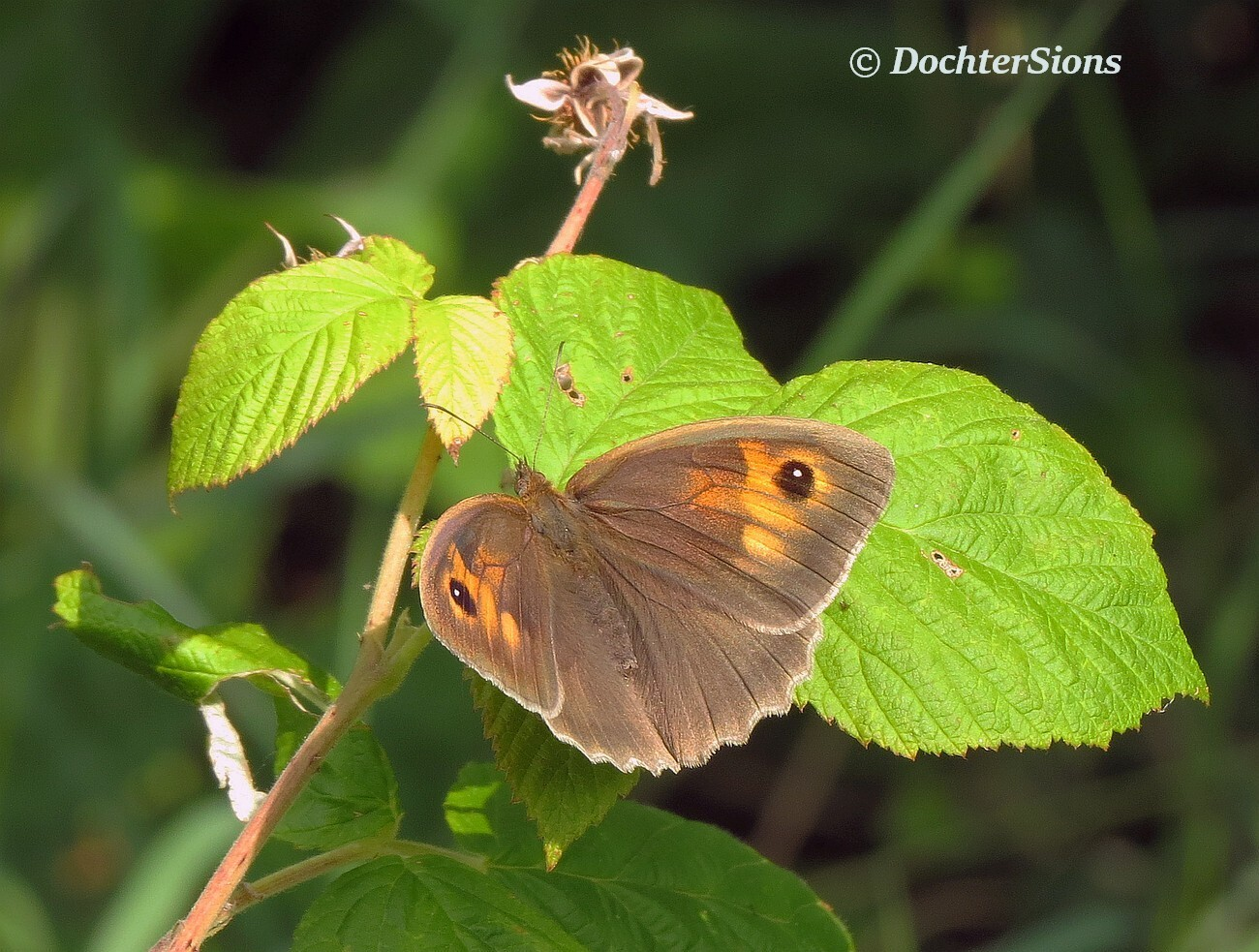 Meadow brown by dochtersions