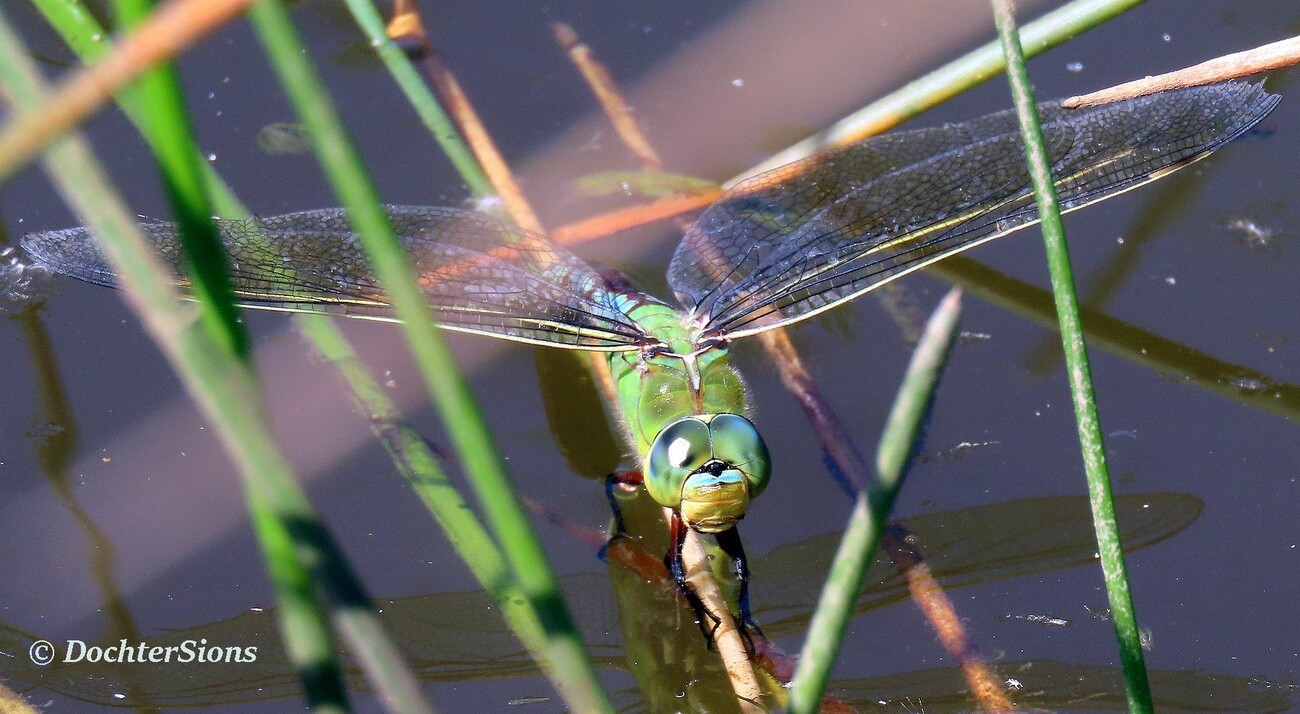 Emperor (dragonfly) by dochtersions