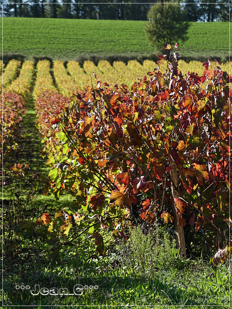 Fall colors in the vines