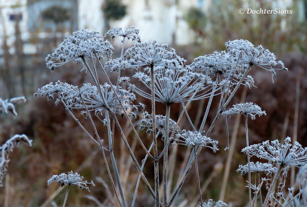 Hogweed with hoarfrost by dochtersions
