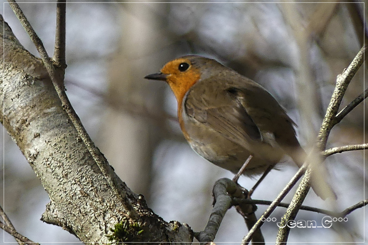 Robin/Rouge-gorge by Jean_C