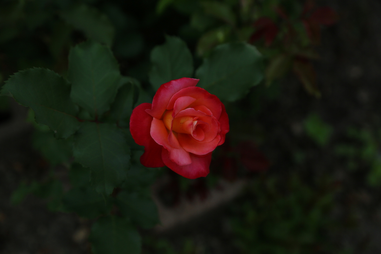 first rose on this bush by Richardphotos