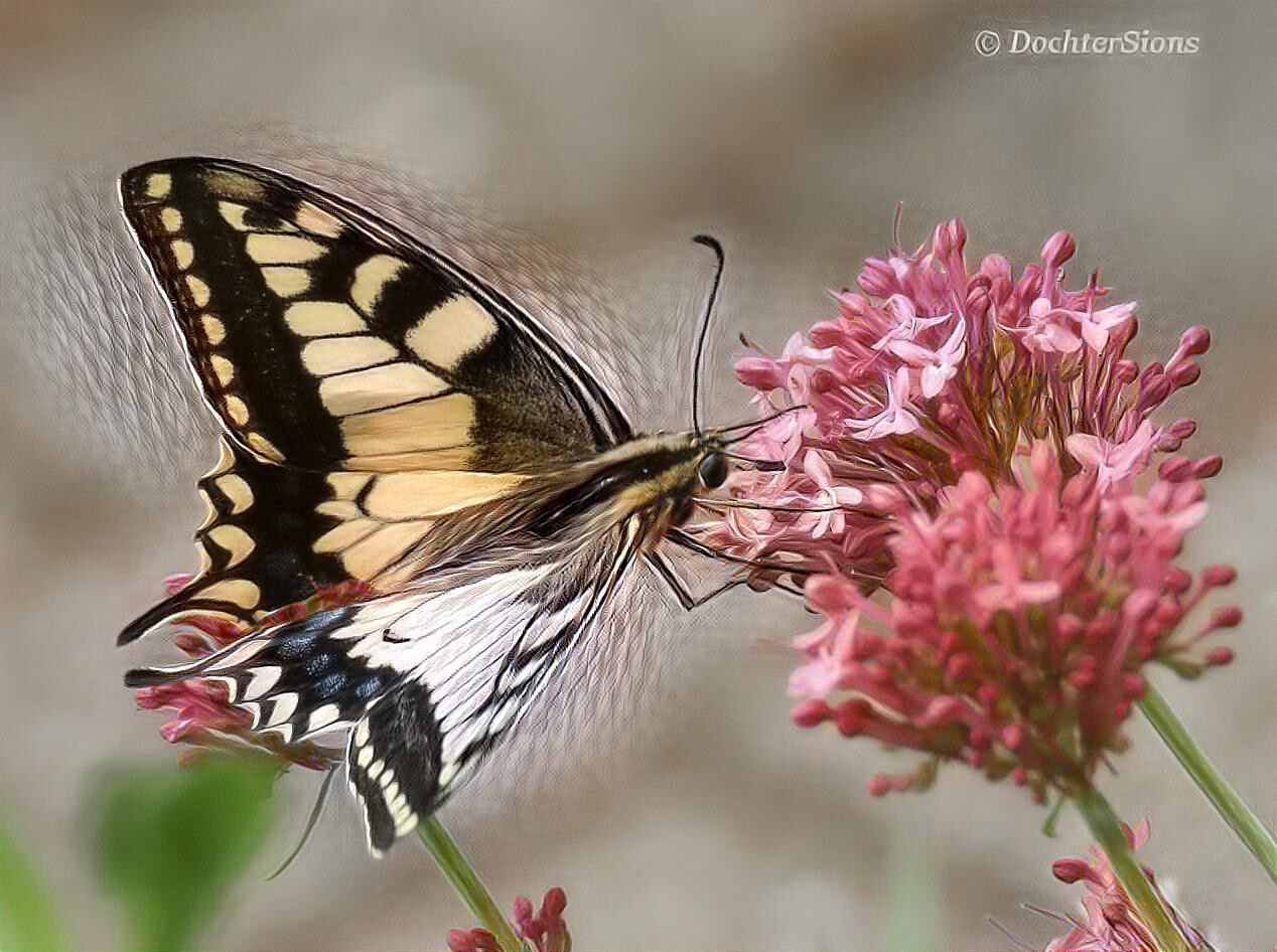 Swallowtail on Valerian. by dochtersions